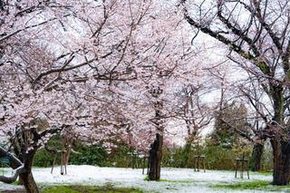 sakura_kojo_snow_02.jpg