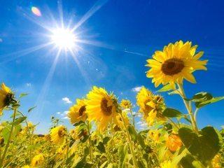 sunflowers01.jpg